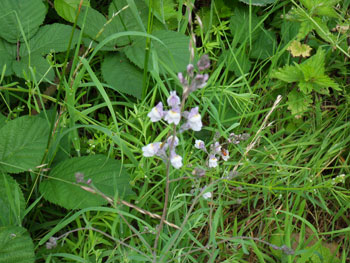 Pale Toadflax at Llynclys