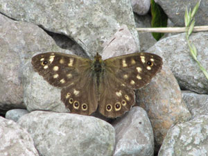 Speckled-Wood